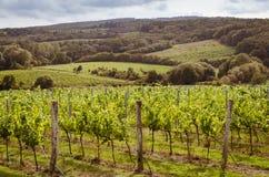 Vineyard Royalty Free Stock Photo