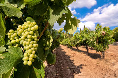 Vineyard with green grapes Stock Images