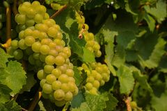 Vineyard green grapes growing in summertime daytime royalty free stock photography