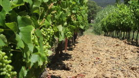 Vineyard with green grapes in the sun stock footage