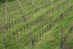 Vineyard in the green hill meadow in summer Royalty Free Stock Image
