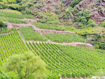 Vineyard on green hills in Moselle valley Stock Photography