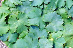 Vineyard green leaves Royalty Free Stock Photo