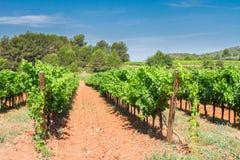 Vineyard green rows Royalty Free Stock Photography