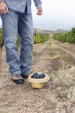 Vineyard Ground Hat Grapes Full Row Royalty Free Stock Image