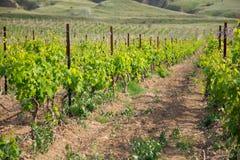Vineyard. Growing vineyard - young grapevine rows Stock Photos