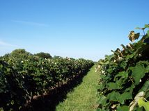 Vineyard Growth. Rows of concord grape vines in a vineyard in Michigan Stock Photo