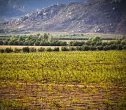 Vineyard, Guadalupe Valley, Baja, Mexico stock photography