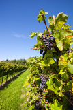 Vineyard in harves Royalty Free Stock Photography