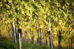 Vineyard after harvest Royalty Free Stock Images