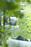 Vineyard and harvest Royalty Free Stock Images