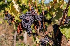 Vineyard, harvest grapes Royalty Free Stock Photography