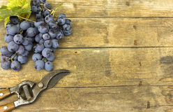 Vineyard harvest Royalty Free Stock Images