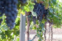 Vineyard harvest. Ripe grapes in fall Stock Photo