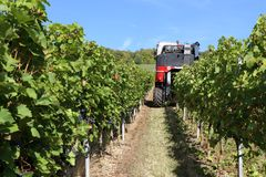 Harvesting grapes by a combine harvester. The vineyard / Harvesting grapes by a combine harvester Royalty Free Stock Photography