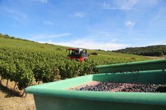 Harvesting grapes by a combine harvester. The vineyard / Harvesting grapes by a combine harvester Stock Image