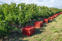 Vineyard harvesting  with red grape colecting boxes. MIddle autu Royalty Free Stock Photos