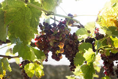 Vineyard, harvesting time,wine production Royalty Free Stock Images