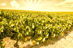 Vineyard hauling, abstract concept Royalty Free Stock Photo