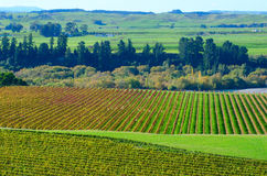 Vineyard in Hawkes Bay. Autumn scene of a vineyard in river road, Hawkes Bay Region, New Zealand Stock Photography