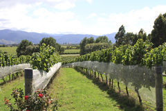 Vineyard at Hawkes Bay Royalty Free Stock Images
