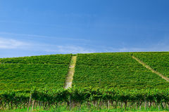 Vineyard on a hill Stock Image