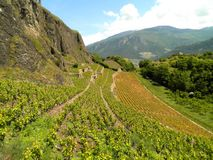 Vineyard Hill. Beautiful view of a vineyard hill in Sion, Switzerland royalty free stock photo