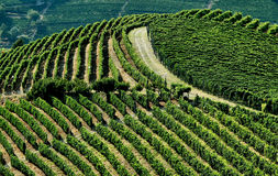 Vineyard in the hill Royalty Free Stock Images
