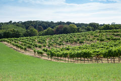 Vineyard on a hill Royalty Free Stock Image