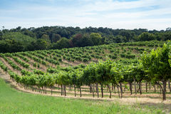 Vineyard on a hill Royalty Free Stock Photography