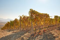 Vineyard hill in autumn with yellow leaves in a sunny day Royalty Free Stock Photography