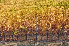 Vineyard on hill background in autumn with yellow leaves Royalty Free Stock Photo