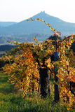 Vineyard with hill at fall Royalty Free Stock Photo