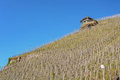 Vineyard on a hill. Royalty Free Stock Photography