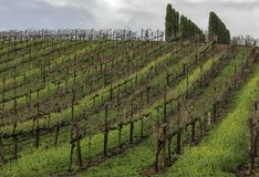 Vineyard hill with rows of grape vines and trees on the top stock photography