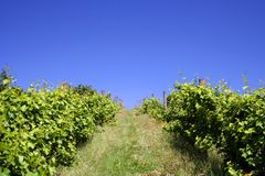 Vineyard Hill in Summer Stock Photo