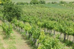 Vineyard on a hill in summer, Austria, Lower-Austria. Green Vineyard in Summer, Small Grapes, Vines in rows, some bushes in the back. Summer, hill, slope royalty free stock image