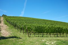 Vineyard hill in a sunny day, blue sky. Vineyard hill in a sunny summer day, clear blue sky royalty free stock photos