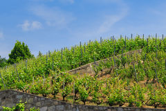 Vineyard on the hill Stock Photography