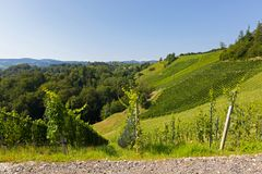 Vineyard on hill. Wine grapes are growing in south Styrian, Leutschach, Austria. Landscape view of vineyard on hill in morning. These wine grapes are growing in stock images