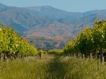 Vineyard hills. A view of a vineyard with misty hills backdrop Stock Images