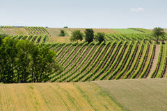 Vineyard in the hills Royalty Free Stock Images