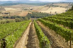 Vineyard and hills. Italian vineyard panorama with hills on the background royalty free stock images