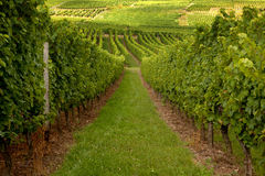 Vineyard hills in Alsace Stock Photo