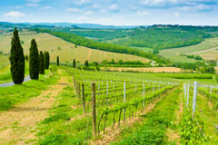 Vineyard Hills And Cypresses Royalty Free Stock Photos