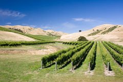 Vineyard with hills on background Royalty Free Stock Photos