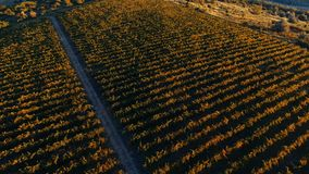 Vineyard hills from drone. Rows of vineyard before harvesting in Dobrogea, Romania Europe, aerial view from drone, Highway crossing the fields. Sunlight stock footage