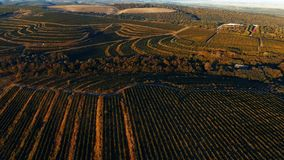 Vineyard hills from drone. Rows of vineyard before harvesting in Dobrogea, Romania Europe, aerial view from drone, Highway crossing the fields. Sunlight stock video
