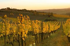 Vineyard on the hills of Florence in Tuscany during autumn sunset. View Vineyard on the hills of Florence in Tuscany / Italy during autumn sunset stock photo