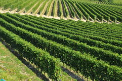 Vineyard and hills of the Langhe region. Piemonte, Italy Royalty Free Stock Photography